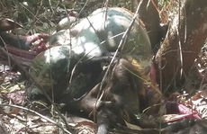 Đồng Nai: Bò tót nặng 200 kg nghi bị bắn chết để lấy thịt