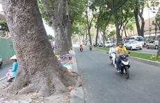 TP HCM 'tiễn' 12 cây xà cừ lâu năm trên đường Tôn Đức Thắng
