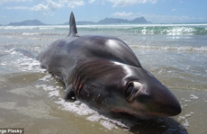 Hết hồn với cá mập kì dị dạt lên bãi biển