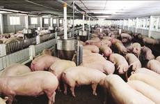 Chăn nuôi hiệu quả không chất cấm