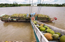 Giá dừa Bến Tre tăng cao kỷ lục