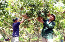 Nhãn muộn Khoái Châu mùa quả ngọt