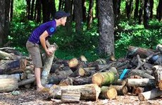 Doanh nghiệp Trung Quốc ồ ạt mua gỗ cao su
