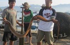 Thót tim theo chân cần thủ săn chình biển khủng