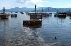 Hé lộ nguyên nhân tôm hùm chết đồng loạt ở Phú Yên