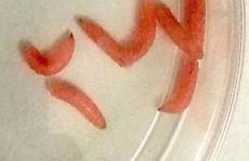 Chữa lành vết thương bằng dòi biến đổi gien