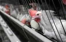Cuộc chiến thịt gà Mỹ - Trung