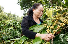 Người góp phần bảo tồn di sản cà phê Buôn Mê Thuột