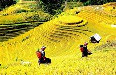 Tháng 9 này, đến Yên Bái thăm mùa vàng Mù Cang Chải