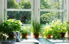 Vườn rau sạch trong nhà: Tại sao không?