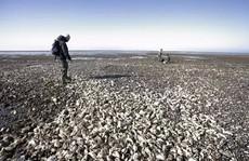 Trung Quốc tình nguyện 'ăn cho tuyệt chủng' để giải cứu hàu Đan Mạch