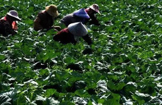 Thán phục trước cách làm nông nghiệp sạch 'lạ đời' của người Nhật