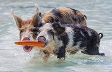 Lợn bơi giỏi kiếm ăn ở quần đảo Bahamas