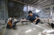 Cận cảnh gà Nhật 'hot', đuôi dài 7m!