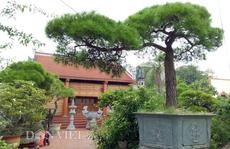 Cây Vạn tùng Côn Sơn Kiếp Bạc 200 năm tuổi: Giá hơn 2 tỉ