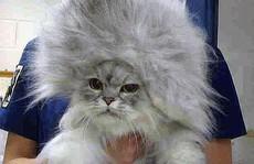 Những chú mèo có bộ lông độc đáo ai cũng phải bật cười
