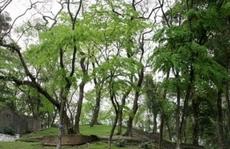Vườn sưa đỏ bạc tỉ trên núi 'triệu đô'