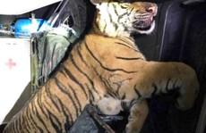 Tài xế cứu thương tông cửa trốn vào rừng, bỏ xe và con hổ