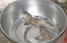 """Sự thật về loài cá nghéo, mệnh danh """"thủy quái"""" biển Đông"""