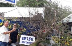 Đà Nẵng: Nhiều cây mai cổ rao bán trên 1,5 tỉ đồng