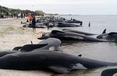 New Zealand: Hàng trăm cá voi gục chết ở 'tử địa'