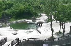 Đáng phục voi trưởng thành phối hợp cứu mạng voi con