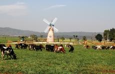 Khám phá trang trại bò sữa '3 không' đầu tiên ở Việt Nam