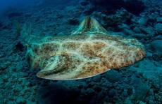 Cá mập tự phá thai khi bị bắt