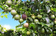 Bầu Đức đã âm thầm trồng cây ăn trái như thế nào?