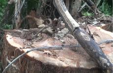 Bắt thêm 6 đối tượng cưa hạ cây thủy tùng trên 500 tuổi
