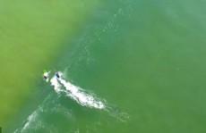 Clip: Cá mập trắng bơi gần người lướt sóng ở Ballina