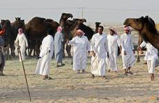 Qatar: Hàng trăm lạc đà chết vì khủng hoảng với Ả Rập Saudi