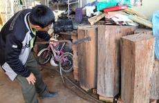 Gỗ phát hiện ở nhà Trưởng Ban Quản lý rừng là thông đỏ quý hiếm, nguy cấp
