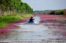 'Lạc trôi' vào dòng kênh bị nhuộm tím ở Tràm Chim