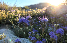 Hoa nở tưng bừng trên sa mạc California