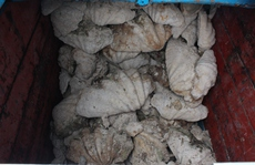 Bắt giữ tàu cá vận chuyển số lượng 'khủng' vỏ sò tai tượng