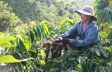 """Cà phê Việt Nam sẽ chiếm """"ngôi vương"""" của Brazil"""