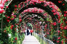 300 loài hoa hồng hội tụ trong lễ hội hoa hồng Bulgaria tại Việt Nam