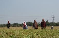 Thương nhân Trung Quốc giảm giá, tồn đọng hàng trăm ngàn tấn lúa nếp