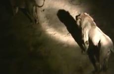 Bị sư tử bao vây, thai phụ sinh con trên xe cấp cứu