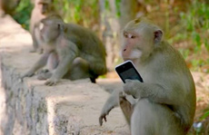 Bầy khỉ 'xã hội đen' trên đảo Bali