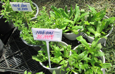 Người Sài Gòn mê rau quả mini làm cảnh