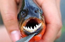 'Điểm mặt' 5 loài sinh vật ngoại lai gây mối nguy cao