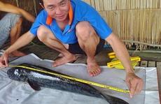 Cá lóc bông khủng dày đặc ở Láng Sen