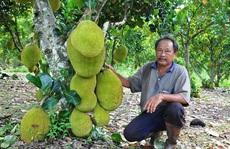 Lão nông trồng mít Thái lá bàng thu tiền tỉ mỗi năm
