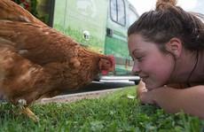 Trí thông minh của loài gà