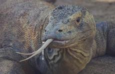 'Lấy độc trị độc' bằng máu rồng Komodo