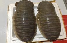 Bọ biển khổng lồ: Món nhậu lạ của dân Hà thành