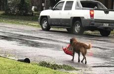Chú chó 'biểu tượng cho sức mạnh Texas' trong bão Harvey