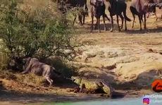 Hà mã cứu linh dương thoát khỏi cá sấu